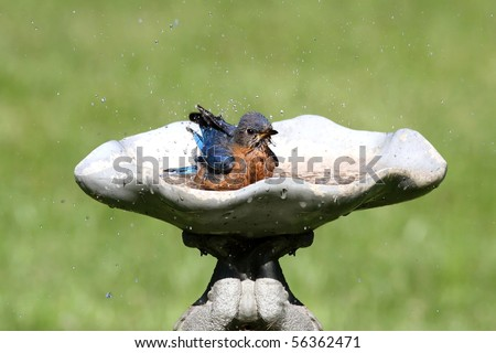 Eastern Bluebird (Sialia sialis) in a bird bath - stock photo