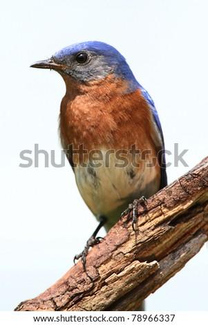 Eastern Bluebird (Sialia sialis) on a stick - Isolated on a white background - stock photo