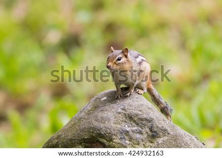 Eastern Chipmunk, Tamias striatus, Ton top of boulder - stock photo