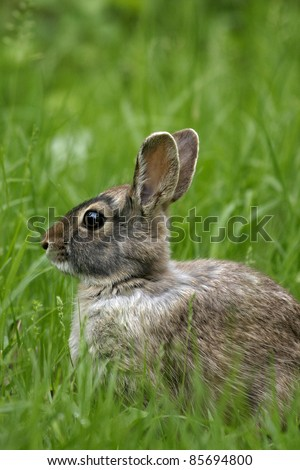Eastern Cottontail (Sylvilagus floridanus), close up. - stock photo