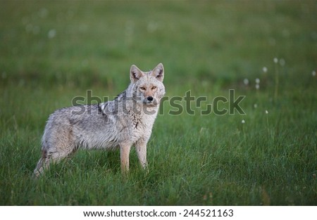 Eastern Coyote, often called Coy-wolf large heavy bodied coyote in lush grassy meadow habitat  - stock photo