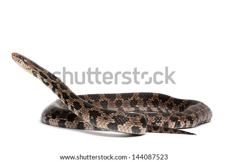 Eastern Foxsnake (Pantherophis gloydi) - stock photo