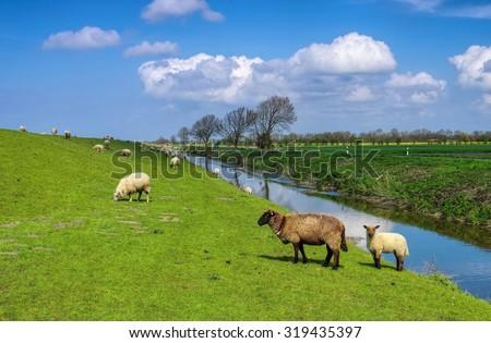 Eastern Friesland sheeps  - stock photo