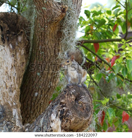 Eastern Gray Squirrel in an old tree with Spanish moss in Homosassa, Florida - stock photo