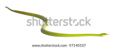 Eastern green mamba  - Dendroaspis angusticeps, poisonous, white background - stock photo