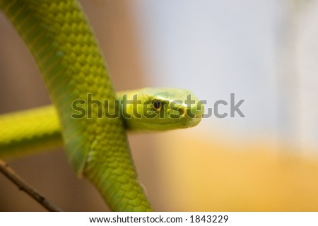 Eastern green mambas are the smallest of the mambas. Green mambas reach an average of length of 1.8 meters, with a maximum length of up to 3.7 meters. - stock photo
