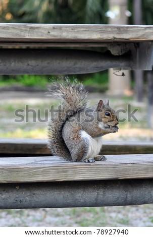 Eastern Grey squirrel (Sciurus carolinensis) - stock photo