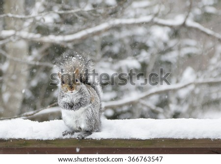 Eastern grey squirrel (Sciurus Carolinensis) sitting on a rail in the snow - stock photo