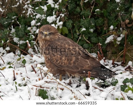 Eastern Imperial Eagle (Aquila heliaca) staying in profile on the snow ground on the green ivy leaves background - stock photo