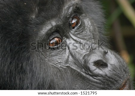 Eastern mountain gorilla female in tropical forest of Uganda - stock photo
