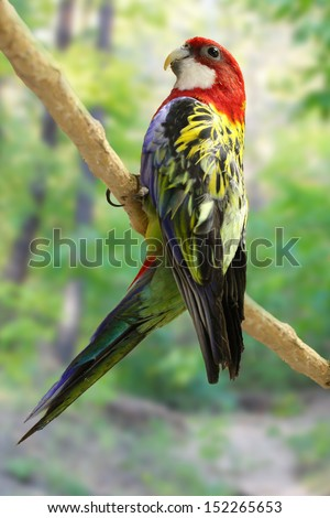 Eastern Rosella (Platycercus eximius) on perch - stock photo