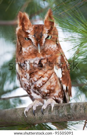Eastern screech owl (red morph) perched on a branch - stock photo