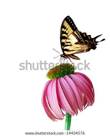 Eastern Tiger Swallowtail butterfly and coneflower isolated on white background - stock photo