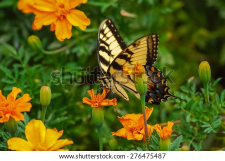 Eastern Tiger Swallowtail Butterfly (Papilio glaucus) perched on orange flowers with green background;  Selective Focus. - stock photo