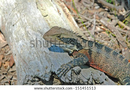 Eastern Water Dragon, Australia - stock photo