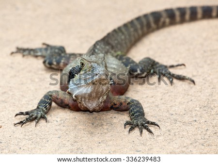 Eastern Water Dragon Lizard is a fairly placid lizard found in Australia - stock photo