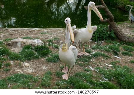 Eastern white pelican - stock photo
