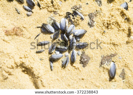 eatable mussels on a beach and sea, shells, Melbourne, Australia. - stock photo