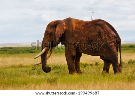 Eating African Elephant after a bath in the mud  - stock photo