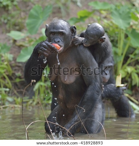 Eating Bonobo standing on her legs in water with a cub on a back.  The Bonobo ( Pan paniscus). Democratic Republic of Congo. Africa - stock photo