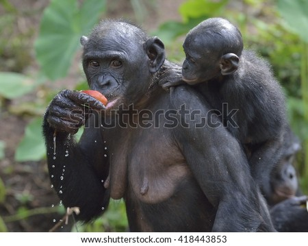 Eating female Bonobo with a cub on a back.  The Bonobo ( Pan paniscus). Democratic Republic of Congo. Africa - stock photo