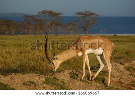 eating gazelle - stock photo