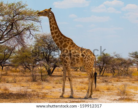 Eating giraffe on safari wild drive - stock photo