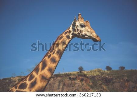Eating giraffe on safari wild drive - stock photo