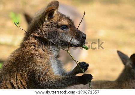 eating kangaroo - stock photo