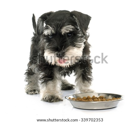 eating puppy miniature schnauzer in front of white background - stock photo