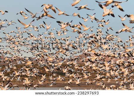Eatly morning snow goose take off at Bosque del Apache National Wildlife Refuge, San Antonio, New Mexico - stock photo