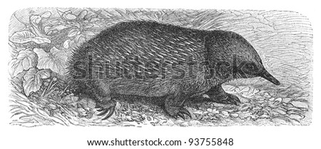 Echidna (Echidna hystrix) / vintage illustration from Meyers Konversations-Lexikon 1897 - stock photo