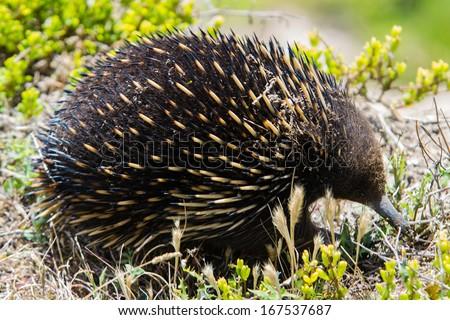 Echidna (Tachyglossus aculeatus), Victoria, Australia - stock photo