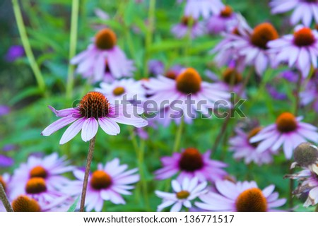 Echinacea - stock photo