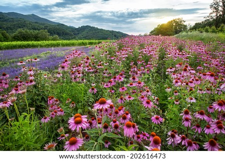 Echinacea and lavender field at sunset - stock photo