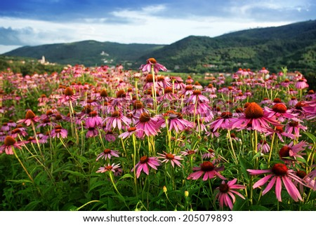 Echinacea field in evening light - stock photo