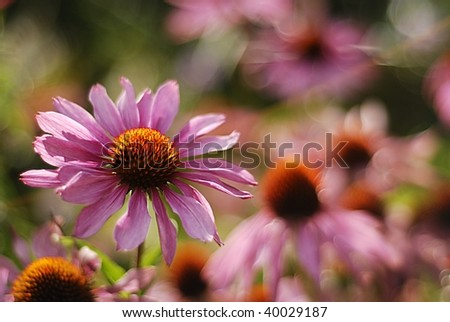 Echinacea flower with floral background - stock photo