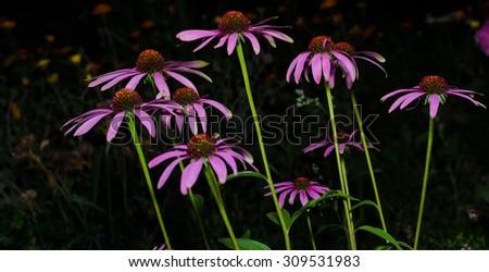 Echinacea flowers. Echinacea purpurea (eastern purple coneflower - stock photo