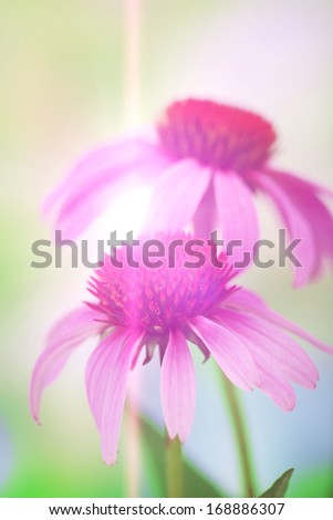 Echinacea flowers, outdoors - stock photo