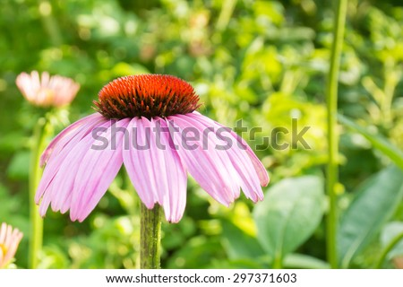Echinacea pallida, Coneflower, of Daisy family, with pink drooping petals and spiky central cone, close up - stock photo