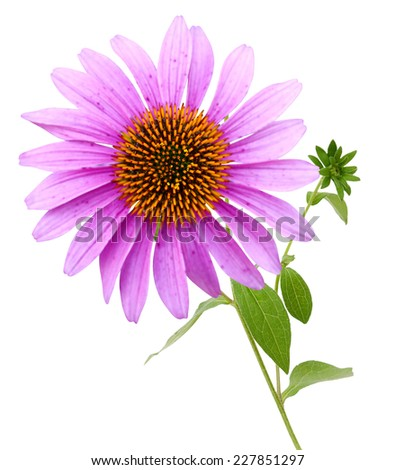 Echinacea purpurea coneflower Flowers isolated on white background  - stock photo