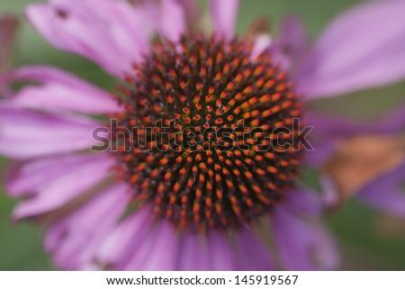 Echinacea purpurea, detail - stock photo
