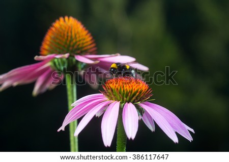Echinacea purpurea or purple coneflowers with bumblebee on top. Extracts of echinacea are often used to stimulate immune system. - stock photo