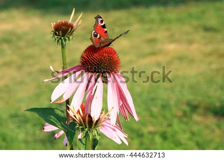 Echinacea with butterflies in country home rustic ecological garden by very sunny day - stock photo