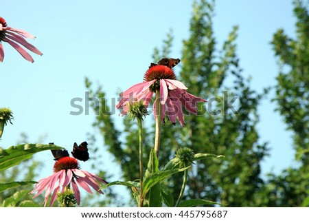 Echinacea with butterflies in country home rustic ecological garden by very sunny day and sky background - stock photo