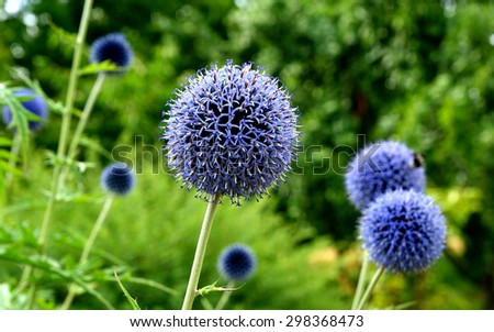 Echinops flowers in the garden - stock photo