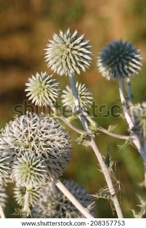 Echinops plants close up horizontal outdoors  - stock photo