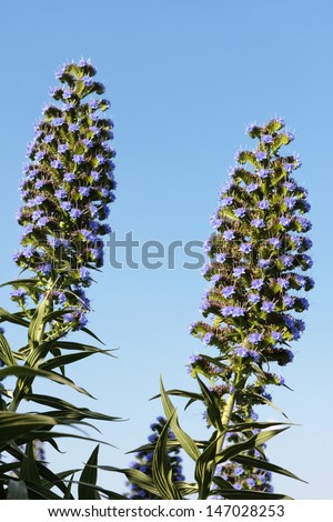 Echium Candicans (Pride of Madeira) against a blue sky in Queensland, Australia. Some parts of Australia believe this to be a potentially high weed risk. - stock photo