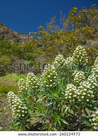 Echium decaisne, plant endemi to Canary Islands, flowering in Caldera de Bandama - stock photo