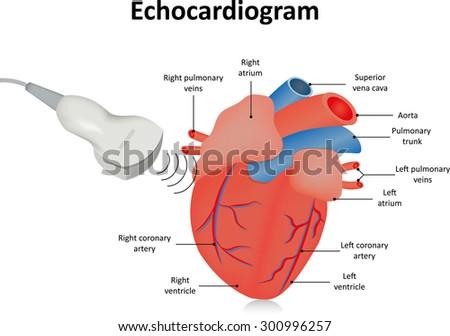 Echocardiogram (Ultrasound of the Heart) - stock photo